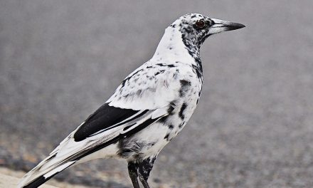 Spotted it yet? Yass' rare magpie out and about
