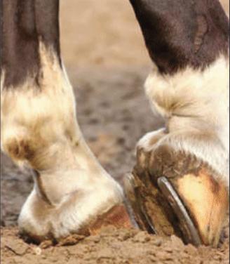 Yass Valley Veterinary – Laminitis in Horses