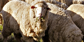 60 Sheep stolen in Yass area